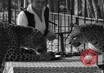 Image of leopards Los Angeles California USA, 1933, second 18 stock footage video 65675042746