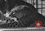 Image of leopards Los Angeles California USA, 1933, second 19 stock footage video 65675042746