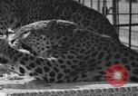 Image of leopards Los Angeles California USA, 1933, second 20 stock footage video 65675042746