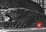 Image of leopards Los Angeles California USA, 1933, second 21 stock footage video 65675042746