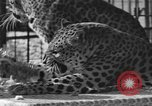 Image of leopards Los Angeles California USA, 1933, second 22 stock footage video 65675042746
