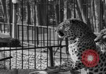 Image of leopards Los Angeles California USA, 1933, second 23 stock footage video 65675042746