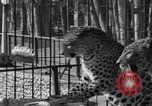 Image of leopards Los Angeles California USA, 1933, second 24 stock footage video 65675042746