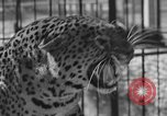 Image of leopards Los Angeles California USA, 1933, second 25 stock footage video 65675042746