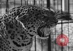 Image of leopards Los Angeles California USA, 1933, second 26 stock footage video 65675042746