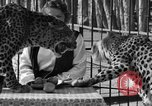 Image of leopards Los Angeles California USA, 1933, second 28 stock footage video 65675042746