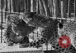 Image of leopards Los Angeles California USA, 1933, second 29 stock footage video 65675042746