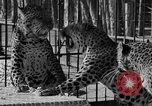 Image of leopards Los Angeles California USA, 1933, second 30 stock footage video 65675042746