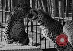 Image of leopards Los Angeles California USA, 1933, second 31 stock footage video 65675042746