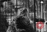 Image of leopards Los Angeles California USA, 1933, second 33 stock footage video 65675042746