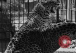 Image of leopards Los Angeles California USA, 1933, second 34 stock footage video 65675042746