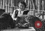 Image of leopards Los Angeles California USA, 1933, second 36 stock footage video 65675042746