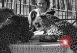 Image of leopards Los Angeles California USA, 1933, second 40 stock footage video 65675042746