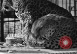 Image of leopards Los Angeles California USA, 1933, second 41 stock footage video 65675042746