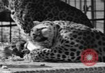 Image of leopards Los Angeles California USA, 1933, second 42 stock footage video 65675042746