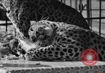 Image of leopards Los Angeles California USA, 1933, second 43 stock footage video 65675042746