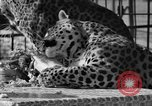 Image of leopards Los Angeles California USA, 1933, second 44 stock footage video 65675042746