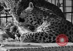 Image of leopards Los Angeles California USA, 1933, second 45 stock footage video 65675042746