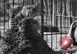 Image of leopards Los Angeles California USA, 1933, second 46 stock footage video 65675042746