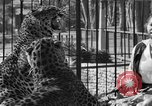Image of leopards Los Angeles California USA, 1933, second 47 stock footage video 65675042746