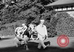 Image of new strain of cow Williamstown Massachusetts USA, 1935, second 23 stock footage video 65675042763