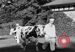 Image of new strain of cow Williamstown Massachusetts USA, 1935, second 24 stock footage video 65675042763