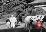 Image of new strain of cow Williamstown Massachusetts USA, 1935, second 26 stock footage video 65675042763