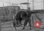 Image of Lion named King Tuffy Venice Beach Los Angeles California USA, 1935, second 19 stock footage video 65675043352
