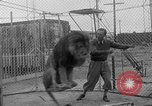 Image of Lion named King Tuffy Venice Beach Los Angeles California USA, 1935, second 25 stock footage video 65675043352