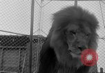 Image of Lion named King Tuffy Venice Beach Los Angeles California USA, 1935, second 30 stock footage video 65675043352