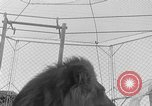 Image of Lion named King Tuffy Venice Beach Los Angeles California USA, 1935, second 33 stock footage video 65675043352