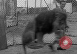 Image of Lion named King Tuffy Venice Beach Los Angeles California USA, 1935, second 34 stock footage video 65675043352