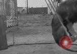 Image of Lion named King Tuffy Venice Beach Los Angeles California USA, 1935, second 35 stock footage video 65675043352