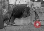 Image of Lion named King Tuffy Venice Beach Los Angeles California USA, 1935, second 36 stock footage video 65675043352