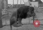 Image of Lion named King Tuffy Venice Beach Los Angeles California USA, 1935, second 37 stock footage video 65675043352