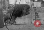 Image of Lion named King Tuffy Venice Beach Los Angeles California USA, 1935, second 39 stock footage video 65675043352