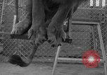 Image of Lion named King Tuffy Venice Beach Los Angeles California USA, 1935, second 43 stock footage video 65675043352