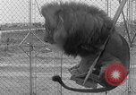 Image of Lion named King Tuffy Venice Beach Los Angeles California USA, 1935, second 48 stock footage video 65675043352