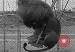 Image of Lion named King Tuffy Venice Beach Los Angeles California USA, 1935, second 51 stock footage video 65675043352