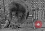 Image of Lion named King Tuffy Venice Beach Los Angeles California USA, 1935, second 56 stock footage video 65675043352