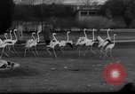 Image of baby animals Germany, 1960, second 7 stock footage video 65675051183