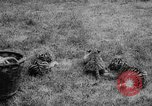 Image of baby animals Germany, 1960, second 22 stock footage video 65675051183