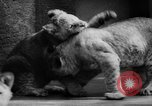 Image of baby animals Germany, 1960, second 29 stock footage video 65675051183