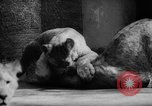 Image of baby animals Germany, 1960, second 30 stock footage video 65675051183
