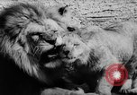 Image of baby animals Germany, 1960, second 33 stock footage video 65675051183