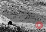 Image of grizzly bear Alaska United States USA, 1929, second 40 stock footage video 65675051271