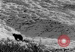 Image of grizzly bear Alaska United States USA, 1929, second 41 stock footage video 65675051271