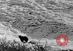 Image of grizzly bear Alaska United States USA, 1929, second 43 stock footage video 65675051271