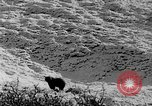 Image of grizzly bear Alaska United States USA, 1929, second 44 stock footage video 65675051271