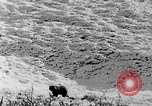 Image of grizzly bear Alaska United States USA, 1929, second 49 stock footage video 65675051271